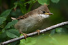 Young Whitethroat.