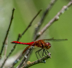 Male red dragonfly (Sympetrum obtrusum)