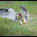 Black-shouldered Kite: Target Acquired
