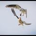 Black-shouldered Kite: I've got this one Dad.