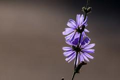 Backlit blue Cornflower