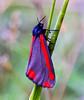 Cinnabar Moth.