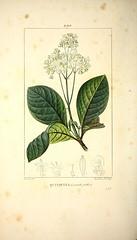 Anglų lietuvių žodynas. Žodis cinchona reiškia n 1) kinmedis; 2) kinmedžio žievė lietuviškai.