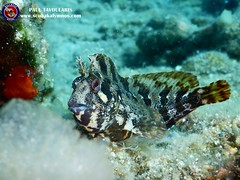 "Tompot blenny • <a style=""font-size:0.8em;"" href=""http://www.flickr.com/photos/150652762@N02/50086675713/"" target=""_blank"">View on Flickr</a>"