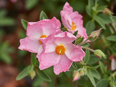 Photo of Rock Rose