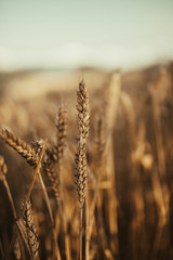 Close-up picture of wheat field