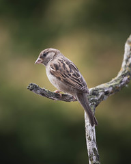 Photo of House Sparrow (Male)