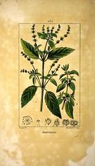 Anglų lietuvių žodynas. Žodis mercurialis annua reiškia <li>mercurialis annua</li> lietuviškai.