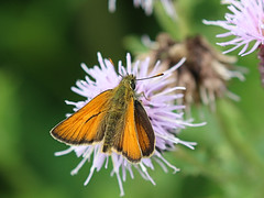 Photo of Small Skipper, butterfly