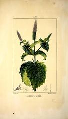 Anglų lietuvių žodynas. Žodis mentha spicata reiškia <li>mentha spicata</li> lietuviškai.