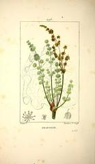 Anglų lietuvių žodynas. Žodis rheum rhaponticum reiškia <li>rheum rhaponticum</li> lietuviškai.