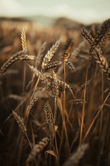Close-up shot of wheat fields taken before dawn