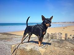 Max en balade à Saint Malo (Bretagne France)
