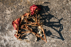 Dried red roses left on the ground to die in the sunlight