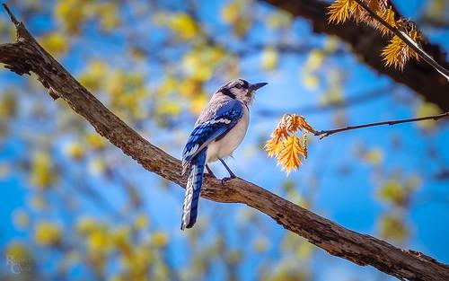 Blue Jay in Boston