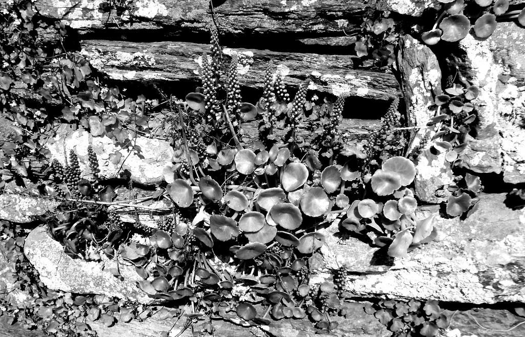 Wall Pennywort & Creeping Toadflax, Wembury Beach, Devon (NT)