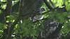 Sparrowhawk-Juvenile's on nest, 07072020, 01 f