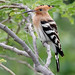 A Eurasian Hoopoe - surprise visitor