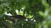 Sparrowhawk-female +Juvenile's, 04072020, 22 f