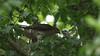 Sparrowhawk-female +Juvenile's, 04072020, 20 f