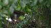 Sparrowhawk-female +Juvenile's, 04072020, 19 f