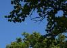 Half moon through trees, near Rossett, Wrexham