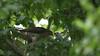 Sparrowhawk-female +Juvenile's, 04072020, 21 f
