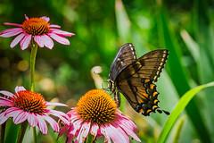 black swallowtail ( Papilio polyxenes)