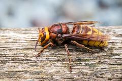 Photo of Hornet
