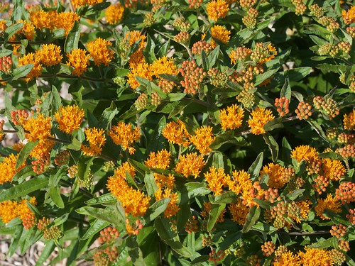 Asclepias tuberosa (Butterfly Weed) Photo by F.D.Richards, 7/2020
