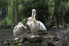 Photo of pelicans