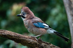 Photo of Crested Jay?