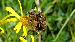 Photo of 20170827_122122 Copulating Eristalis nemorum Hoverflies