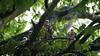 Sparrowhawk - Juvenile's, 09072020, 02 f