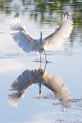 July 5, 2020 - Snowy egret symmetry. (Tony's Takes)