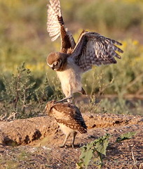 July 3, 2020 - Burrowing owl siblings battle. (Bill Hutchinson)