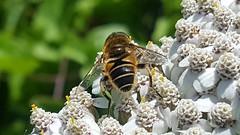 Photo of 20170827_131537 Eristalis nemorum Hoverfly
