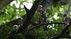 Sparrowhawk - Juvenile's, 09072020, 01 f
