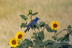 July 1, 2020 - Blue gosbeak on sunflowers. (Tony's Takes)