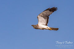 July 5, 2020 - A northern harrier in flight. (Tony's Takes)