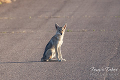 July 4, 2020 - Coyote pup hanging out. (Tony's Takes)