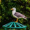 Lesser Black Backed Gull In Beveridge Park