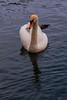 Swan In Beveridge Park