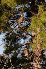 July 1, 2020 - Great horned owl pair hanging out. (Tony's Takes)