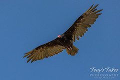 July 1, 2020 - Turkey vulture circling overhead. (Tony's Takes)