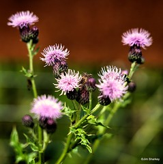 Photo of thistle heads