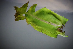 Photo of Reflected green leaf