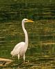 Great Egret Watching @ Swift Creek Reservoir - Midlothian, VA, USA