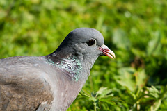 Photo of Stock Dove