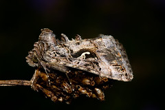 Photo of Silver Y Moth (Autographa gamma)